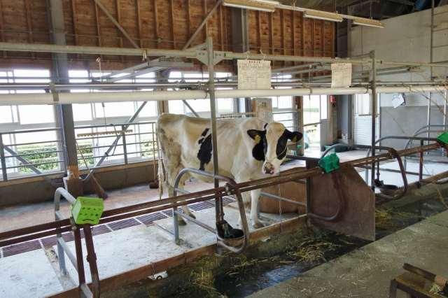 牛舎を覗いてみると牛が2頭しかいない。他は放牧されてるみたい。この牛 急に滝のようなオシッコ!ダイナミックです!