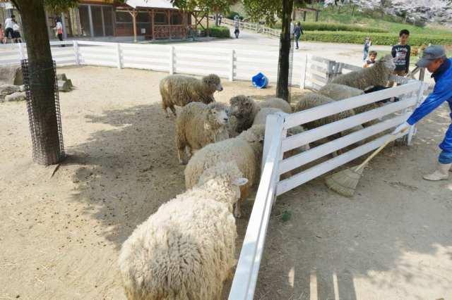 羊が草を欲しがる