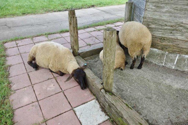 羊も暑そうにハーハーいってる